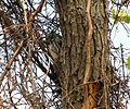 Megascops asio Magee Marsh 2.jpg