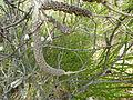 Melaleuca huegelii (fruits).JPG