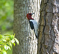 Melanerpes erythrocephalus -tree trunk-USA.jpg