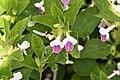 Melittis melissophyllum 8127A.jpg