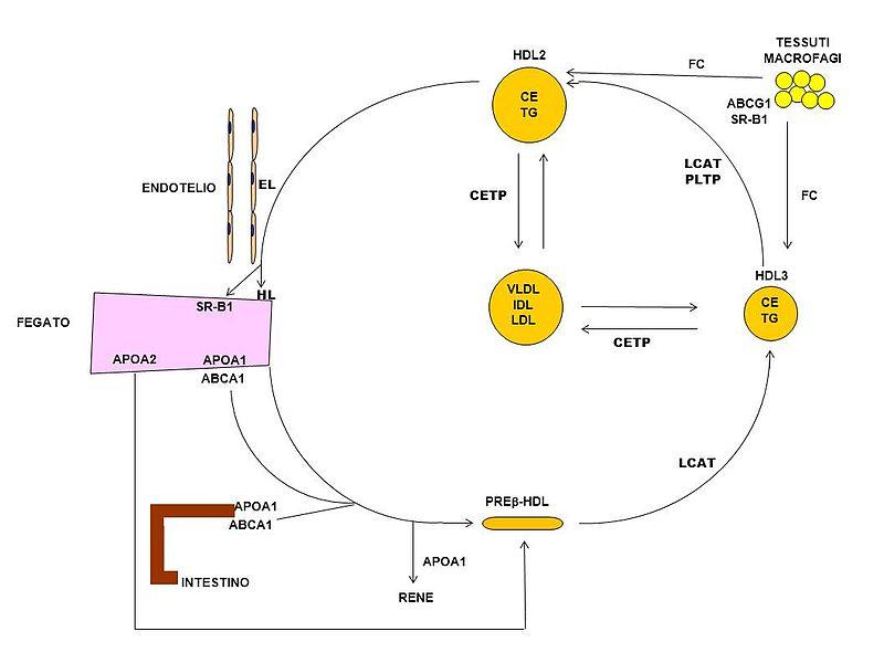 File:Metabolismo HDL.jpg - Wikimedia Commons