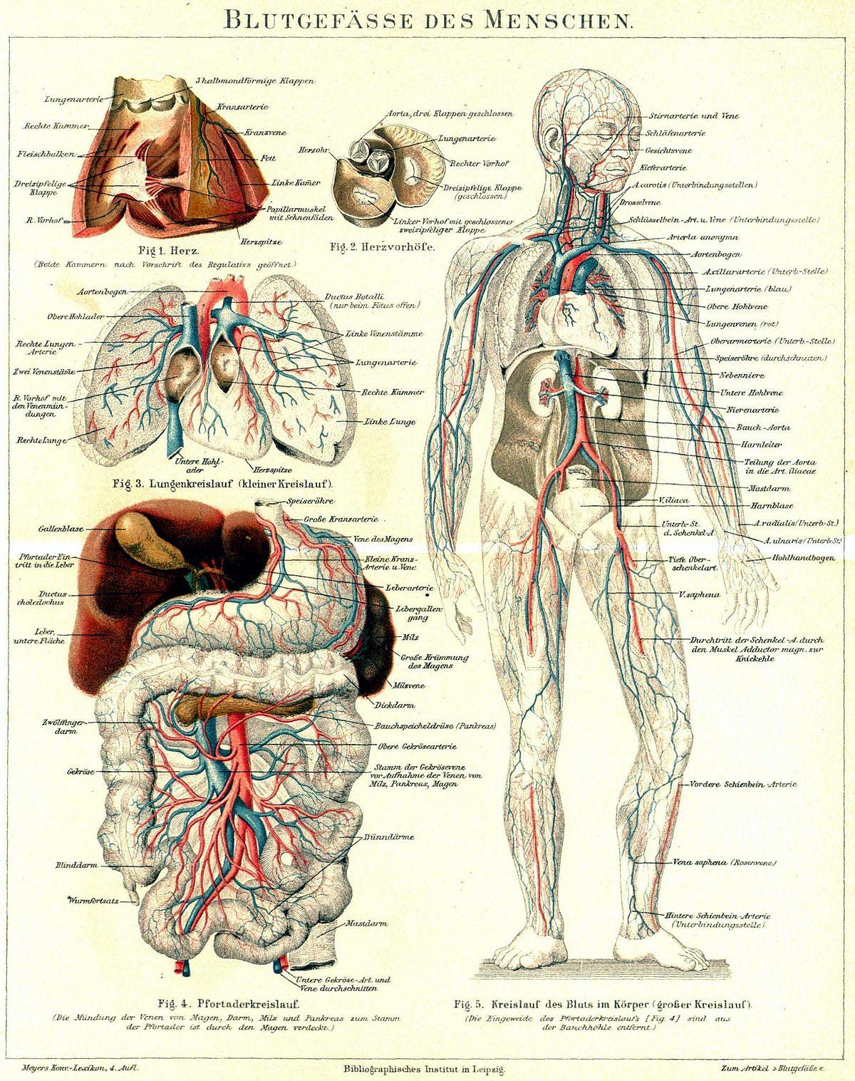 Blutgefäß – Wikipedia
