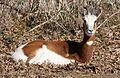 Mhorr Gazelle by Trisha 6.jpg