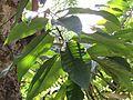 Michelia champaca (Champak) tree in RDA, Bogra 03.jpg
