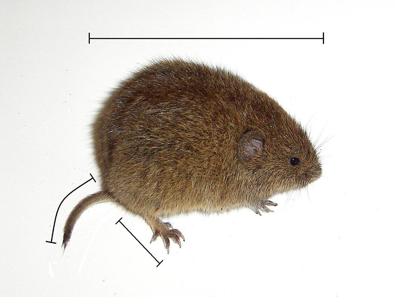 Hraboš poľný (Microtus arvalis)