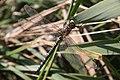 Migrant Hawker dragonfly (Aeshna mixta) - geograph.org.uk - 1004319.jpg