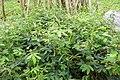 Mimosa pudica à São Tomé (3).jpg