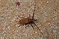 Mimothestus annulicornis 332237.jpg