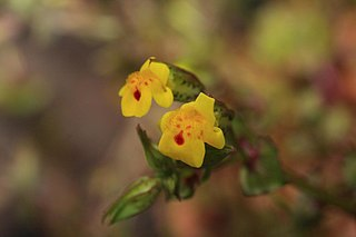 <i>Mimulus laciniatus</i> species of plant