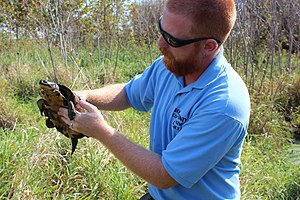 Blanding's turtle - Affixing a transmitter for research purposes