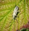 Miridae - Leptopterna dolabrata, adult male. Meadow Plant Bug (32287431048).jpg
