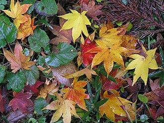 Autumn leaf color - Japanese maple autumn leaves