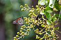 Monarch (21856932981).jpg