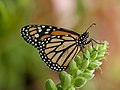 Monarch Butterfly at the Butterflies and Blooms.jpg