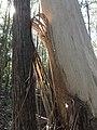 Monga National Park peeling tree.jpg