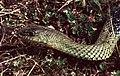 Montpellier Snake (Malpolon monspessulanus) male (Found by Jean Nicolas) (42680871170).jpg