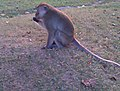 Monyet jawa taman hutan rancakalong.jpg