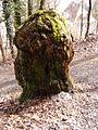 Morscher Baumstumpf - Altenberg.JPG