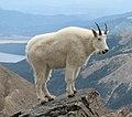 Mountain Goat Mount Massive cropped.jpg