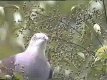 File:Mountain Imperial-pigeon.ogv