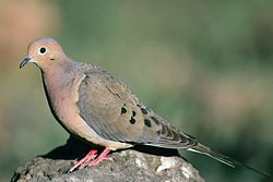 Mourning dove (1).jpg