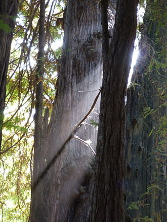 Muir Woods National Monument - Old-growth coastal redwoods