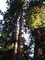 Muir Woods National Monument 04 Coast Redwood (Sequoia sempervirens).jpg