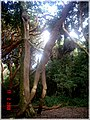 Mujer del Bosque en la Isla Helvecia, Calbuco (2313787680).jpg