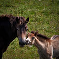 Mummy's Boy - Exmore mare and foal.jpg