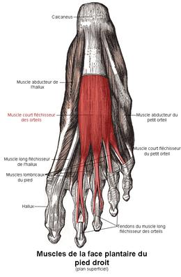 Muscle long fléchisseur des orteils