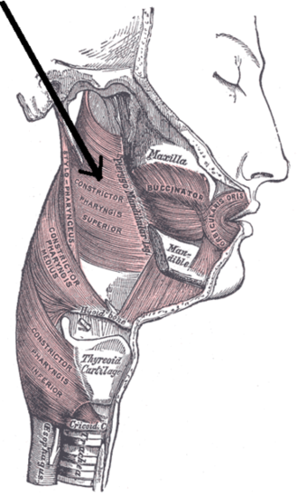 Superior pharyngeal constrictor muscle - Muscles of the pharynx and cheek.