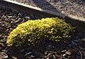 Muurpeper bij de Haagse tramrails 3.jpg