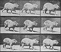 Muybridge, Eadweard - Cabybara, gehend (Zeno Fotografie).jpg
