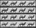 Muybridge, Eadweard - Gehendes Kamel (0.57 Sekunden) (Zeno Fotografie).jpg