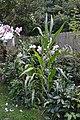 My Corn (7483513198).jpg