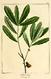 NAS-017f Quercus pumila.png