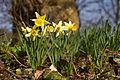Narcissus pseudonarcissus (Narcisse jaune) 2 - W.Sandras.jpg