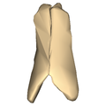 Nasal bone close-up anterior.png
