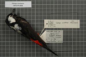 Mountain peltops - Image: Naturalis Biodiversity Center RMNH.AVES.28972 1 Peltops montanus Stresemann, 1921 Monarchidae bird skin specimen
