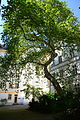 Naturdenkmal 726 2014-05-02 (53) Wien01 Singerstrasse11 Platane.JPG