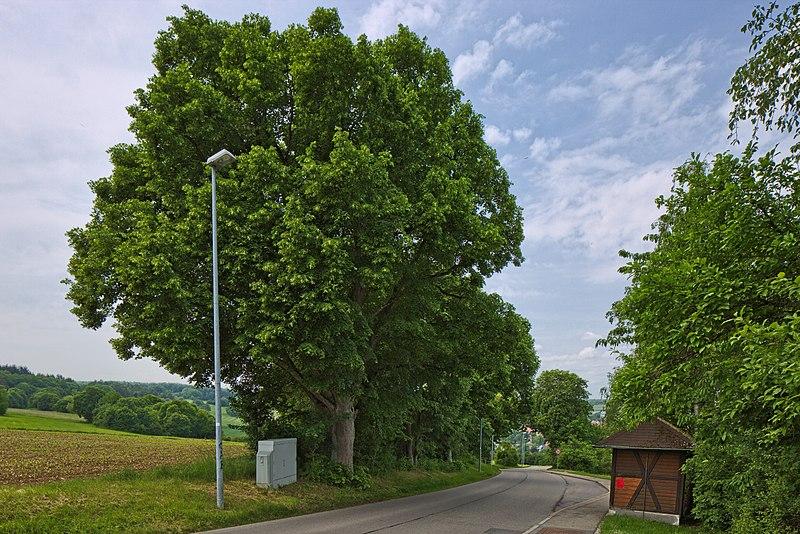 File:Naturdenkmal Lindenreihe und Grubbank, Kennung 82350290007, Gechingen 01.jpg