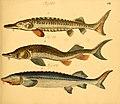 Naturgeschichte in Bildern mit erläuterndem Text (Taf. VIII) (6058655829).jpg