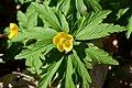 Naturschutzgebiet Haseder Busch - Gelbes Windröschen (1).jpg