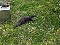 Natuurpark Lelystad - Lutrinae (Otter).jpg