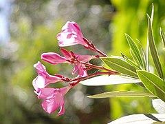 Nerium oleander flowers.jpg