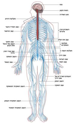 Nervous system diagram-he.png