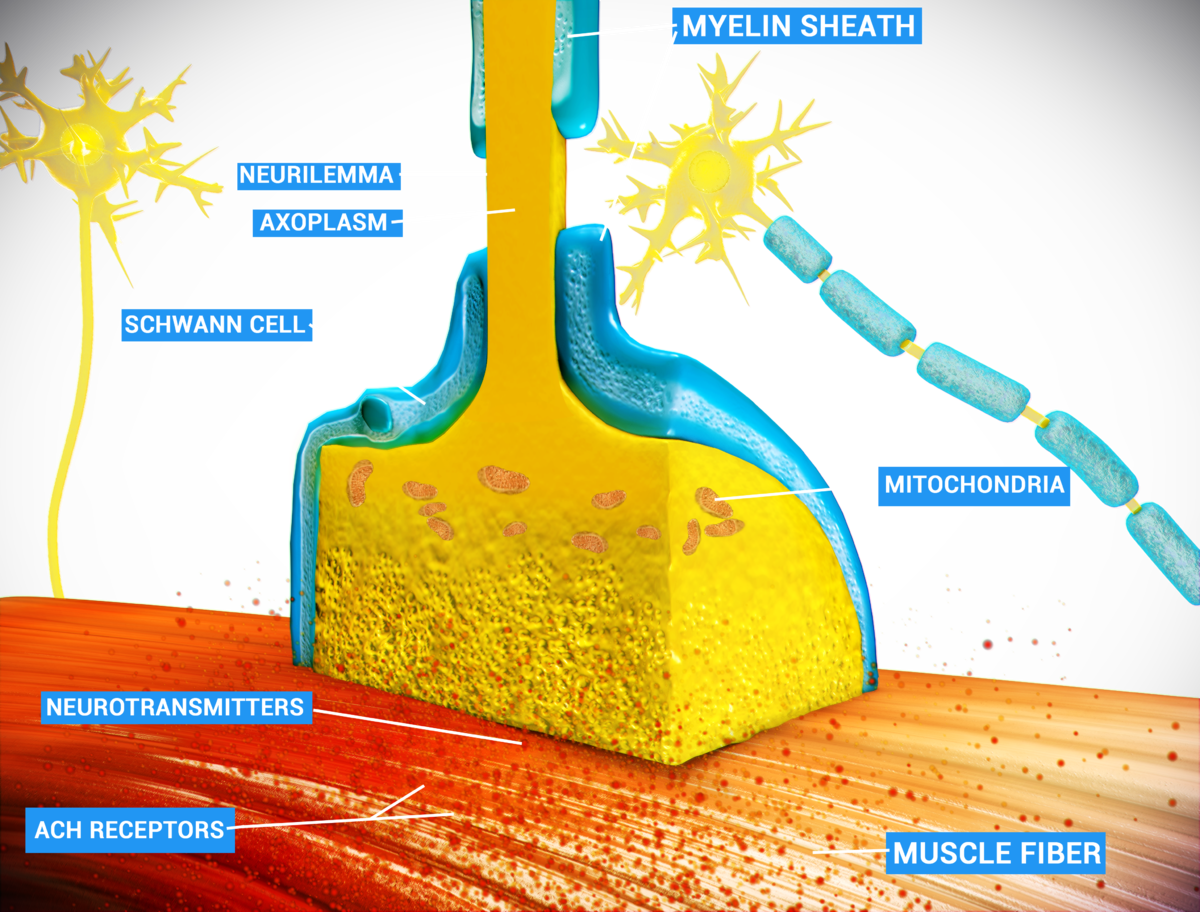 exocytosis and the neuromuscular junction A neuromuscular junction is a synapse between a motor neuron and skeletal muscle this lesson describes the events of synaptic transmission leading.