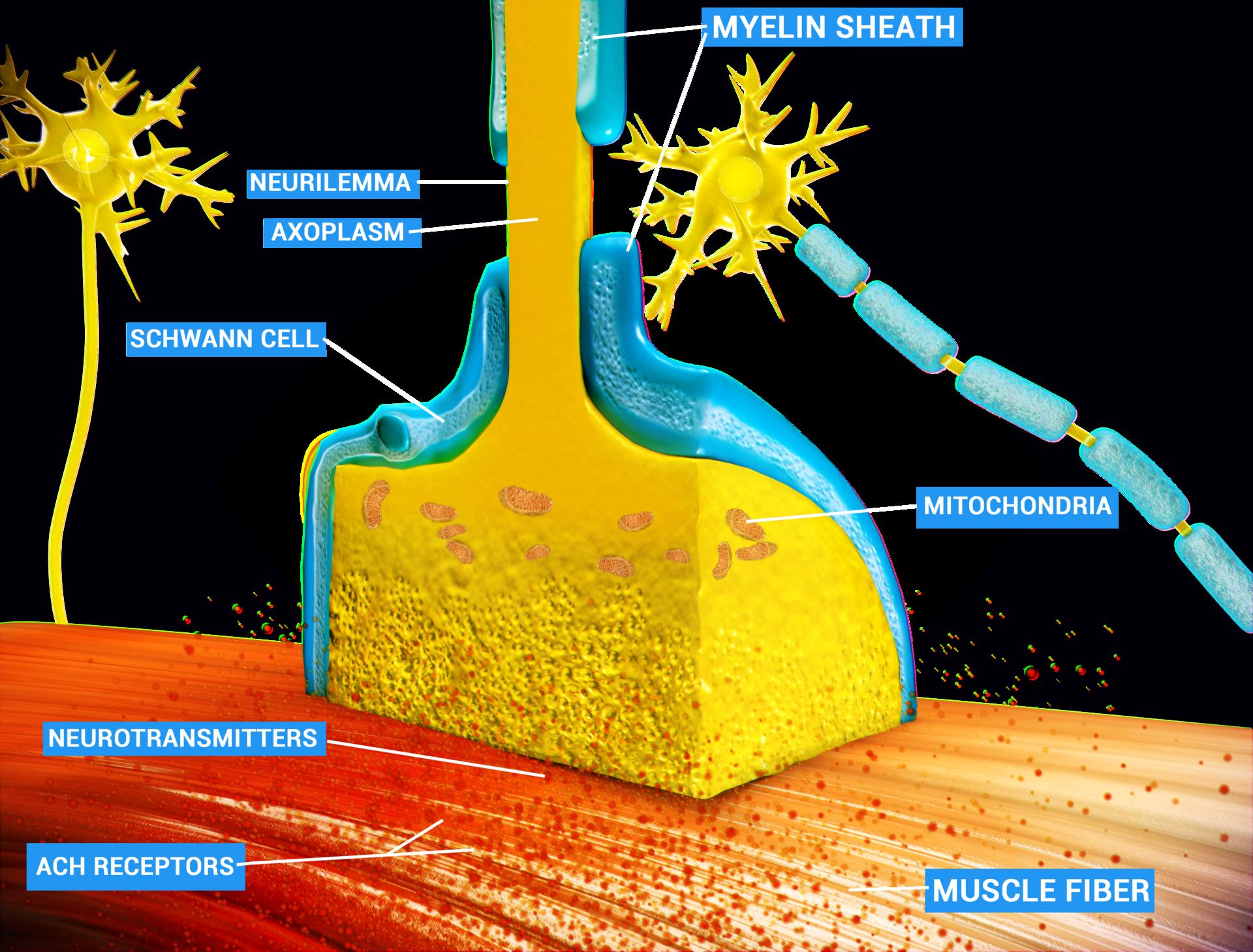 Neuromuscular junction - Wikipedia