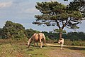 New Forest mare and foal, Handy Cross. - geograph.org.uk - 437792.jpg