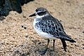 New Zealand dotterel. (Charadrius obscurus) (9124140130).jpg